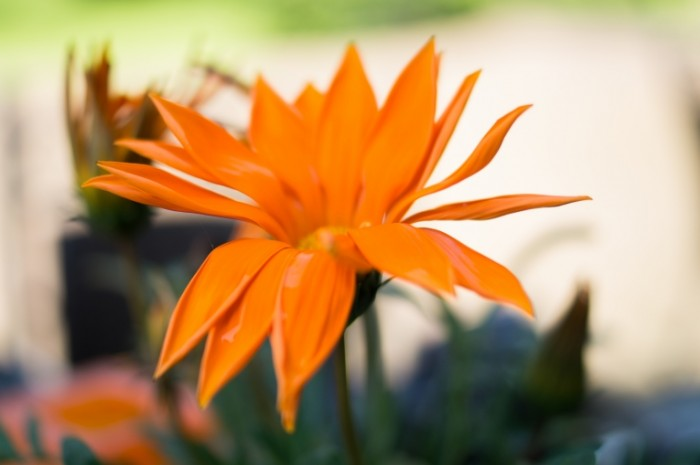 Orange flower free license CC0 700x465 Оранжевый цветок   Orange flower