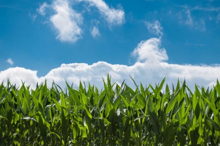 corn blue sky1 700x464 Поле   Field