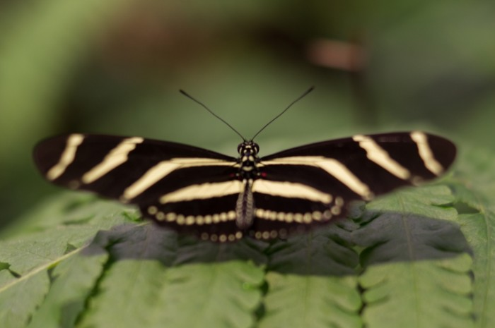 Butterfly spreading wings free license CC0 700x465 Бабочка   Butterfly