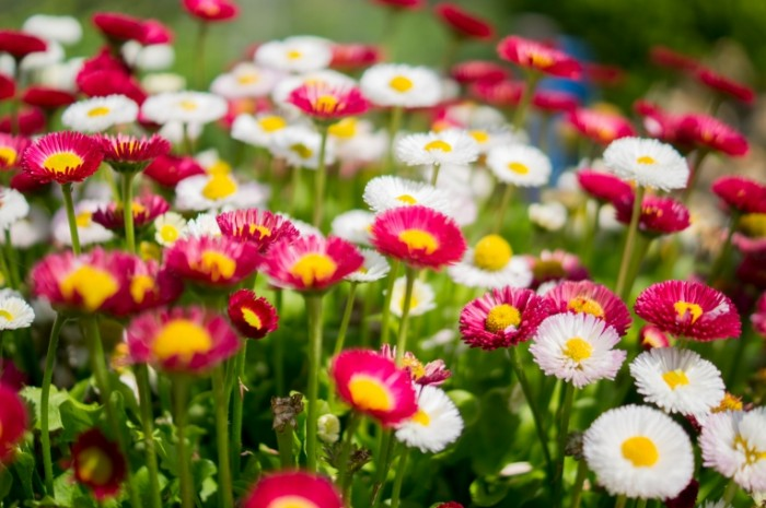 Colourful combination of flowers free license CC0 700x465 Розовые и белые цветы   Pink and white flowers