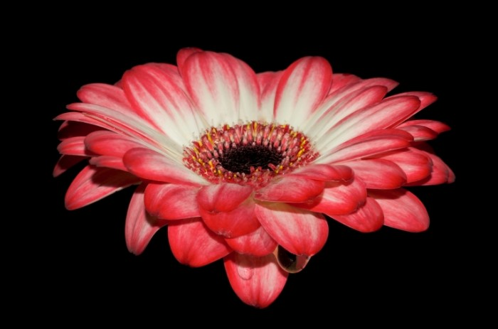 Gerbera free license CC0 700x463 Гербера   Gerbera