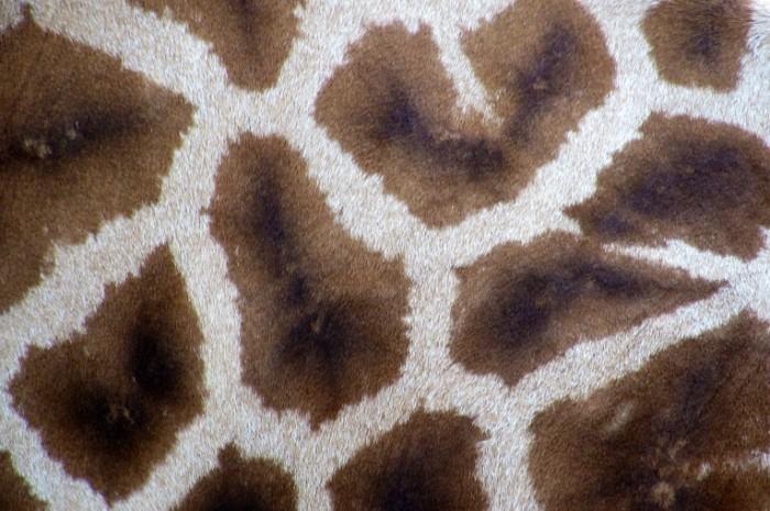 Giraffe Spots free license CC0 700x465 Пятна жирафа   Giraffe spots