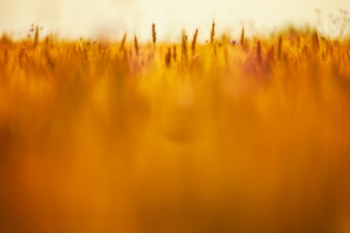 Grain Brackground 700x466 Пшеничное поле   Wheat fielad