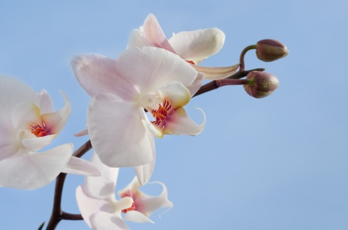 Orchid and blue sky free license CC0 700x463 Орхидея и голубое небо   Orchid and blue sky