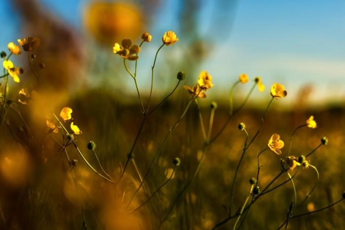 SplitShire 190071 700x466 Желтые цветы   Yellow flowers