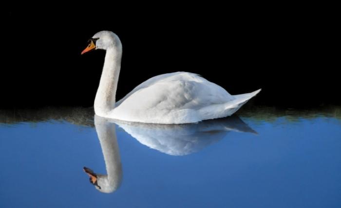 The swan free license CC0 700x428 Лебедь   Swan