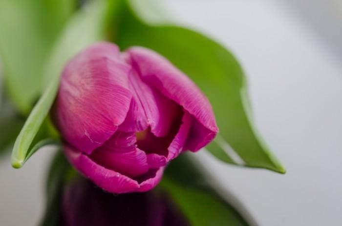 Tulip free license CC0 700x463 Розовый тюльпан   Pink tulip