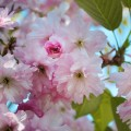 Цвет яблони - Apple blossom