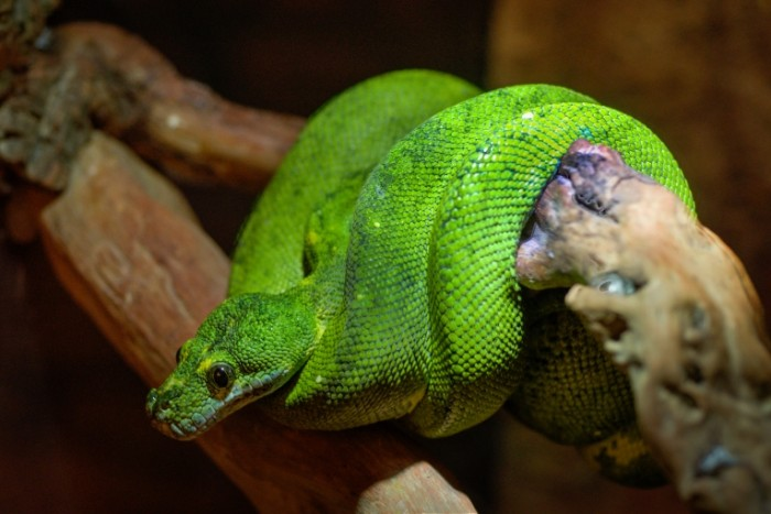 boomslang free license CC0 700x467 Змея и дерево   Snake and tree