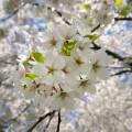 Цветение - Blossom