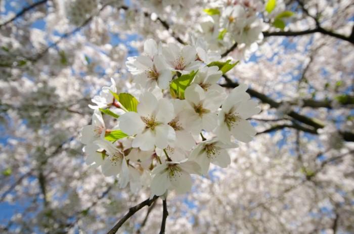 prunus blossom free license cc0 700x463 Цветение   Blossom