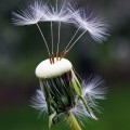 Dandelion - Одуванчик