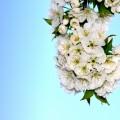 White flowers - Белые цветы