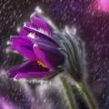 Фиалка - Violet