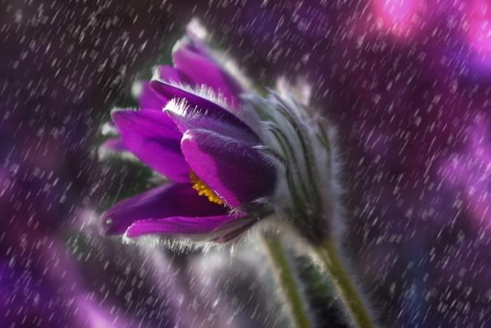 pasque flower 1331790 700x468 Фиалка   Violet