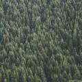 Хвойный лес - Firs