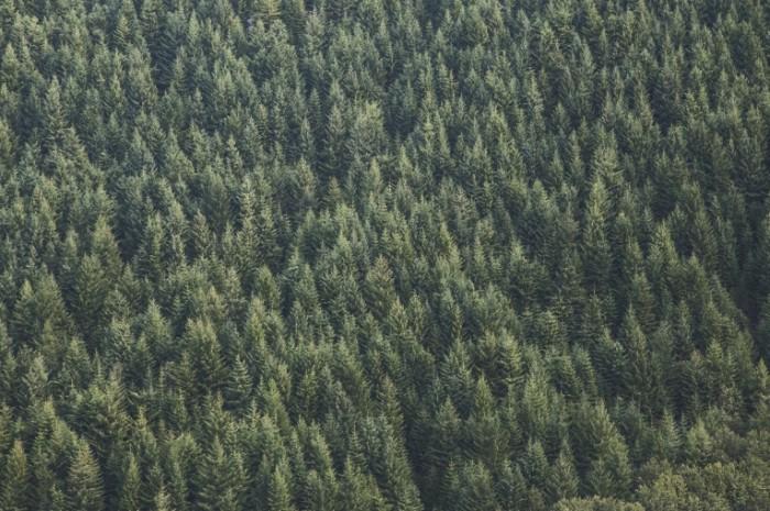 photo 1458724029936 2cc6ee38f5ef 700x465 Хвойный лес   Firs