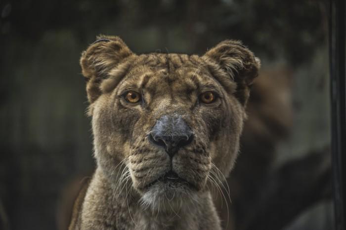 photo 1458724338480 79bc7a8352e4 700x466 Лев   Lion
