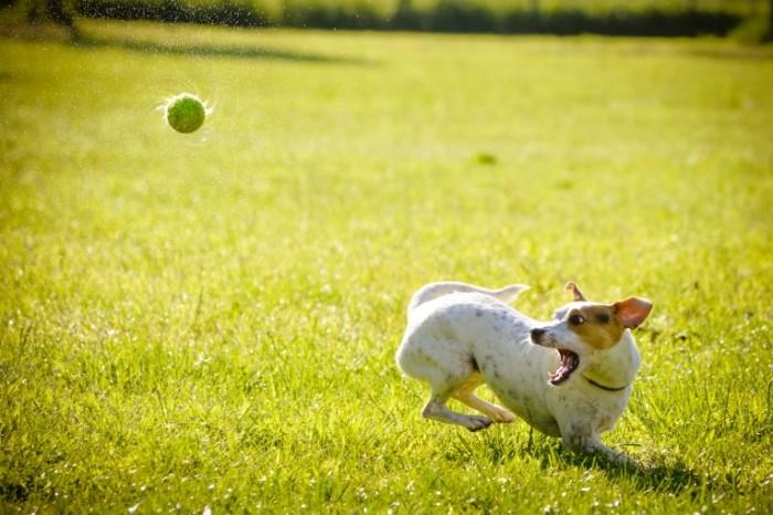 SplitShire 190071 700x466 Dog and ball   Собака с мячем