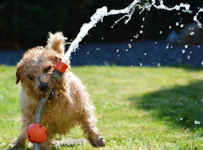 dog 1310545 700x517 Dog and water hose   Собака и шланг с водой
