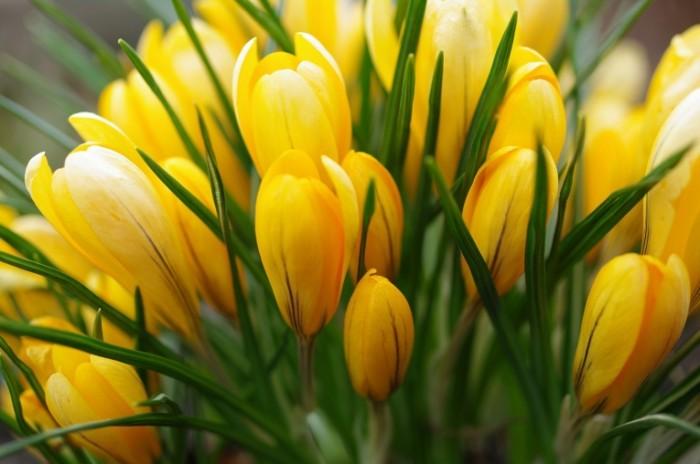 361874430096752 700x464 Тюльпаны   Tulips