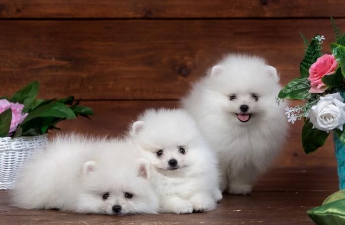 4d95920f9400f3e 700x457 Щенки   Puppies