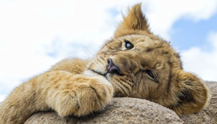 52c9a77823ef223 700x400 Лев   Lion