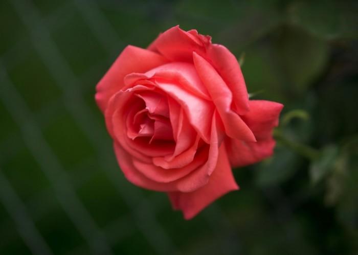 542d7caef7b28ec 700x499 Красная роза   Red rose
