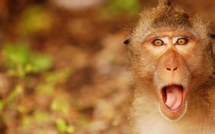 b64c18e06f1b9a9 700x437 Обезьяна   Monkey