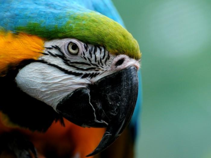 zhivotnye 4fcee325e37a 700x524 Попугай   Parrot