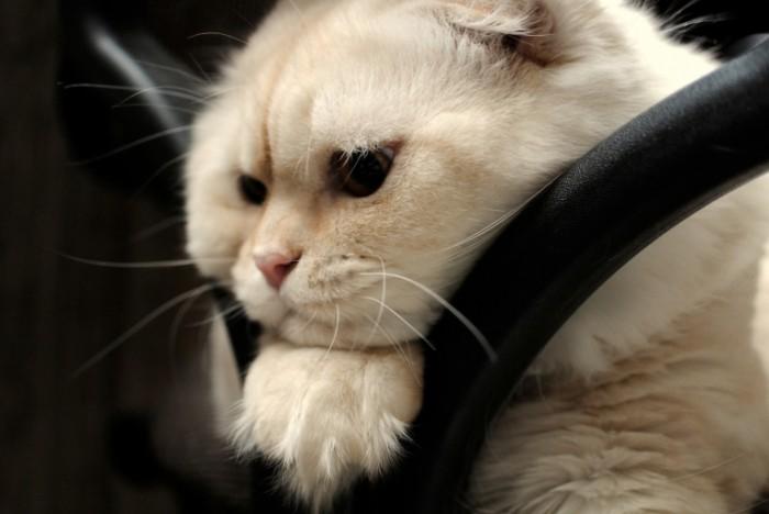 mordocka vzglad skottis fold sotlandskaa vislouhaa koska 700x468 Кот   Cat