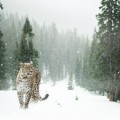Снежный барс в лесу - Snow Leopard in the forest