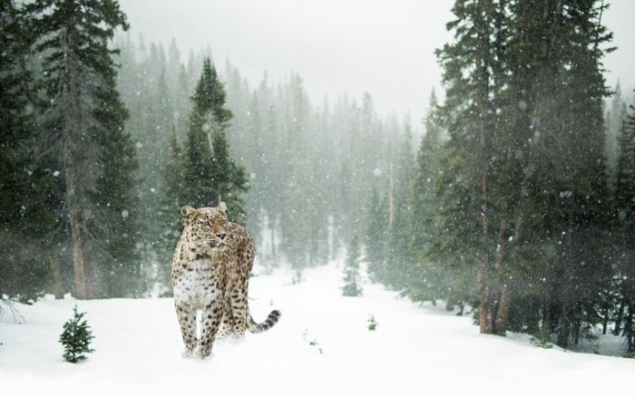 persian leopard 1647940 700x437 Снежный барс в лесу    Snow Leopard in the forest