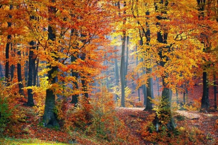 woods 1072819 700x466 Осенний лес   Autumn forest