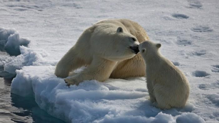 14797940935833ddad116344 04729585 700x393 Белые медведи   White bears