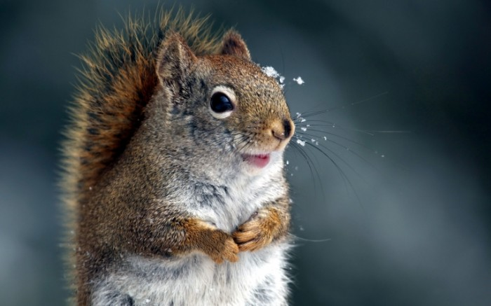 4416e101f1a7dd9 700x437 Белка   Squirrel