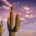 Кактус - Cactus