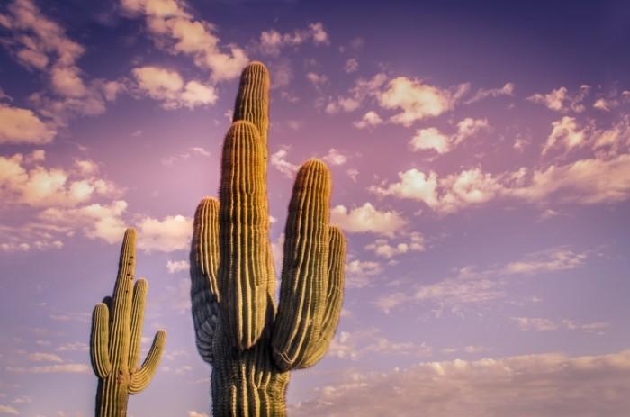 1485341132588881cc3e8657.10793113 700x463 Кактус   Cactus