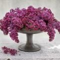 Сирень - Lilac