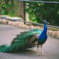 Павлин - Peacock