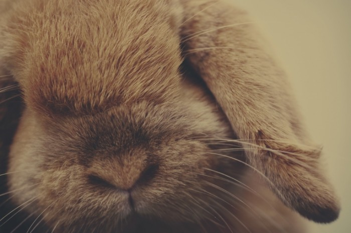 krolik sherst zhivotnoe 700x466 Кролик   Rabbit