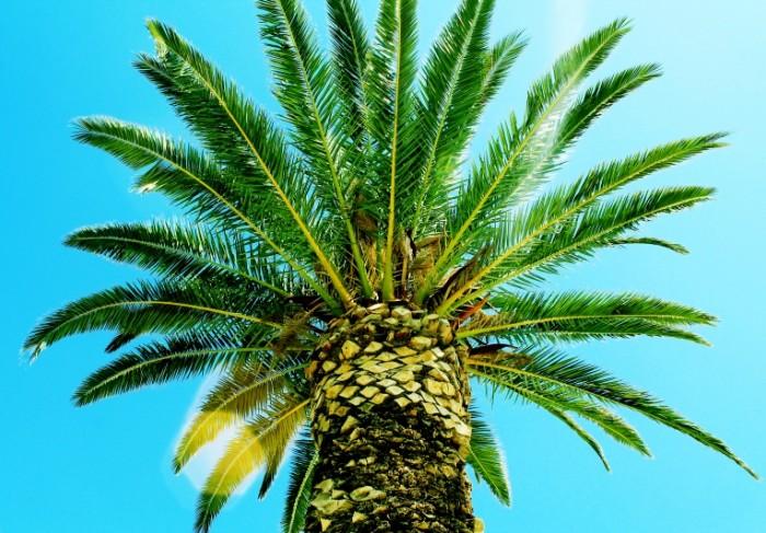 palma derevo listya zelenye 700x487 Пальма   Palm
