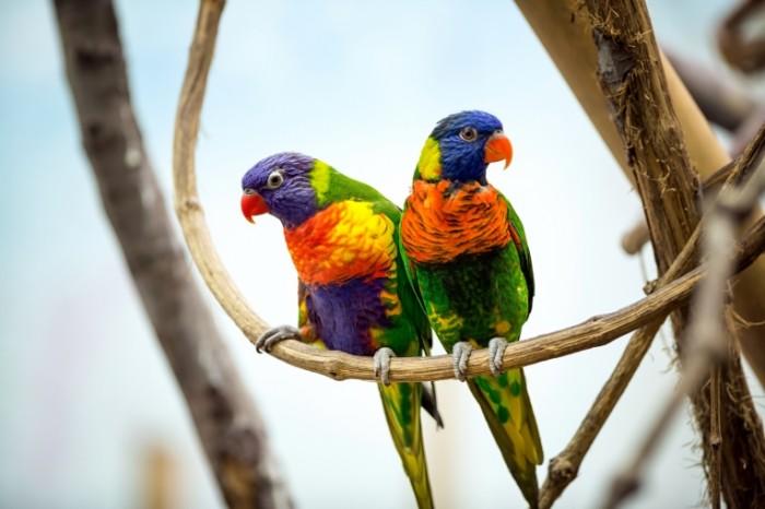 pticy popugai para 3301 700x466 Попугаи   Parrots