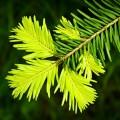 Хвоя - Foliage