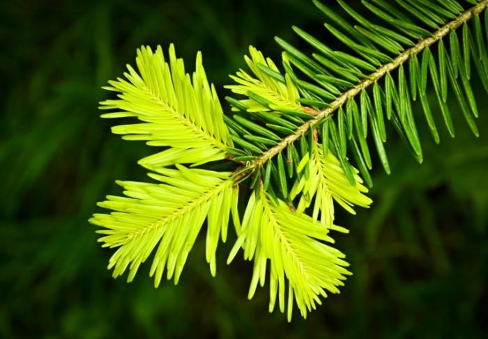 sosna vetka igolki hvoya zelen 700x487 Хвоя   Foliage