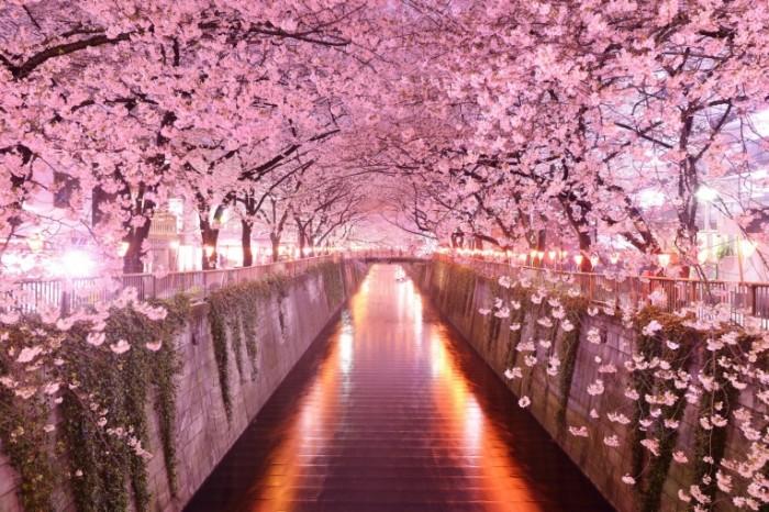 2048    1367 700x466 Сакура   Sakura