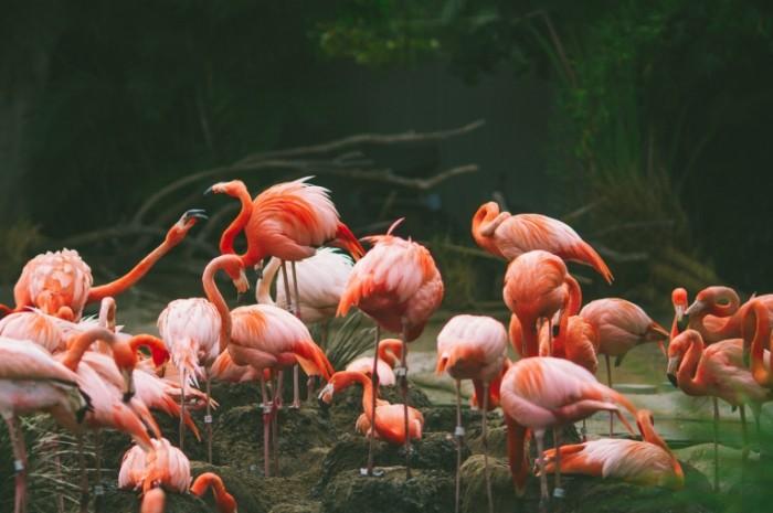 flamingo pticy mnogo 700x465 Фламинго   Flamingo