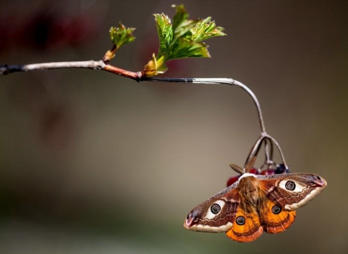 pavlinoglazka malaya babochka 4918 700x511 Бабочка   Butterfly