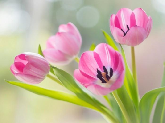tyulpany rozovye butony 6211 700x524 Розовые тюльпаны   Pink tulips