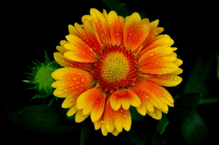 cvetok lepestki kapli rosa 4675 700x464 Красивый цветок   Beautiful flower